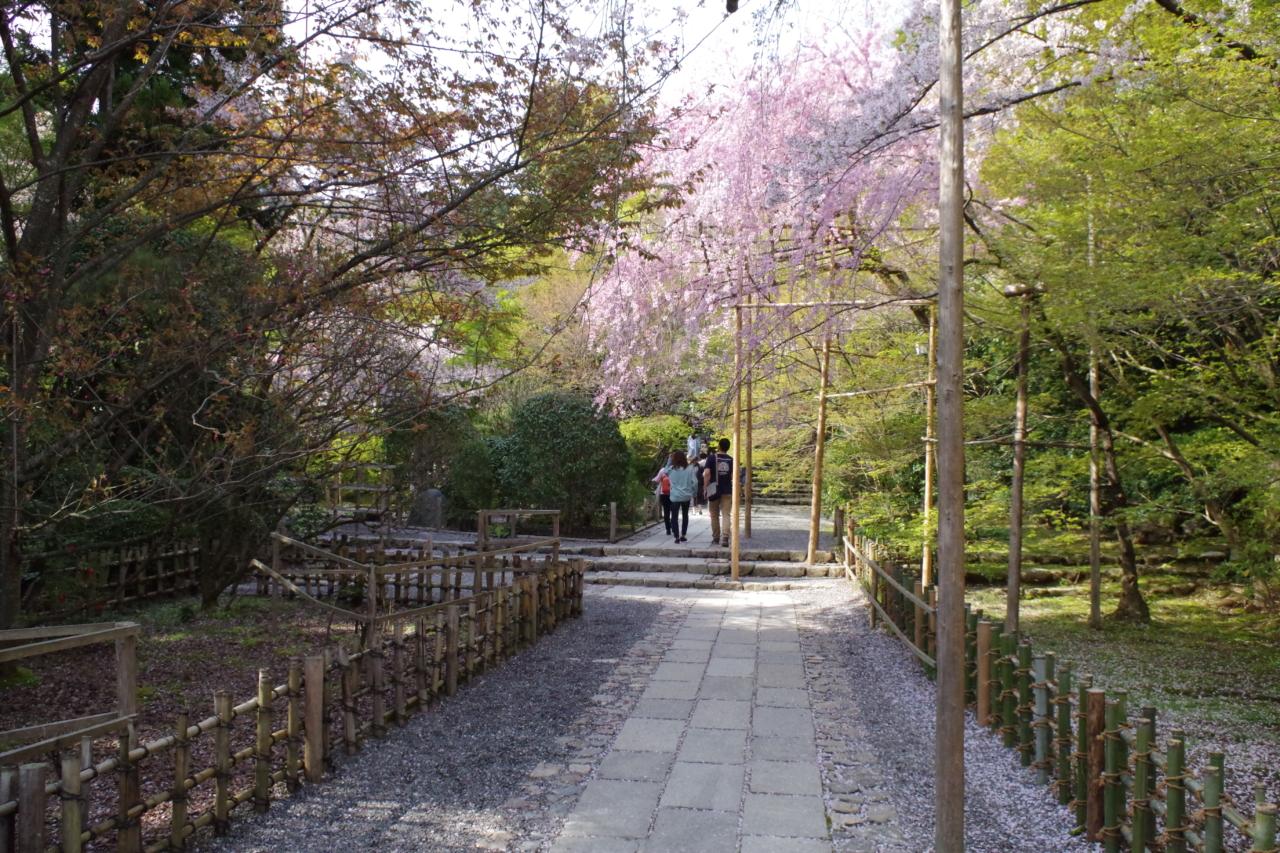 龍安寺境内の桜