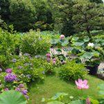 法金剛院は梅雨の時期の紫陽花や蓮の花が美しいお寺