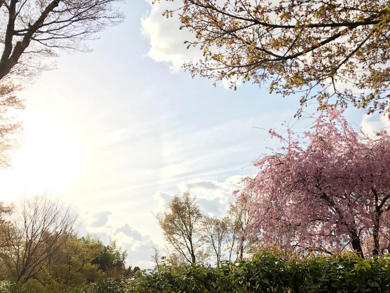 高台寺の桜と空