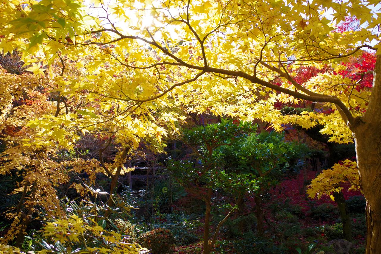 圓光寺の黄色の紅葉と光