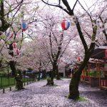 平野神社は桜の名所。お花見・お祭り・お守りなど、桜が目立つ神社