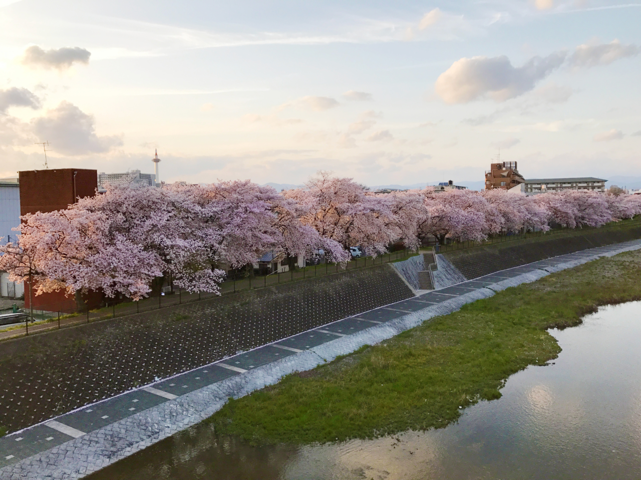 鴨川・九条の桜