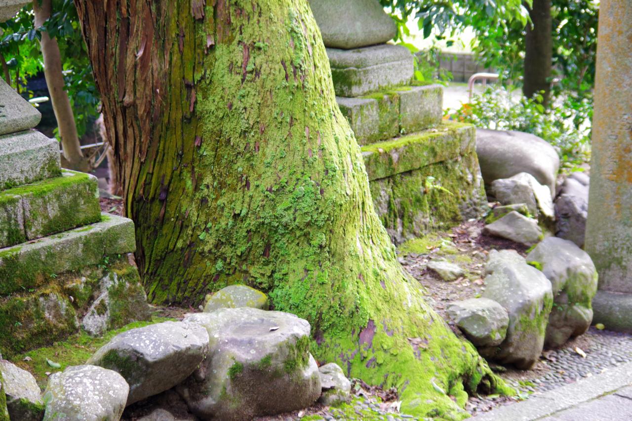 崇道神社の木と苔