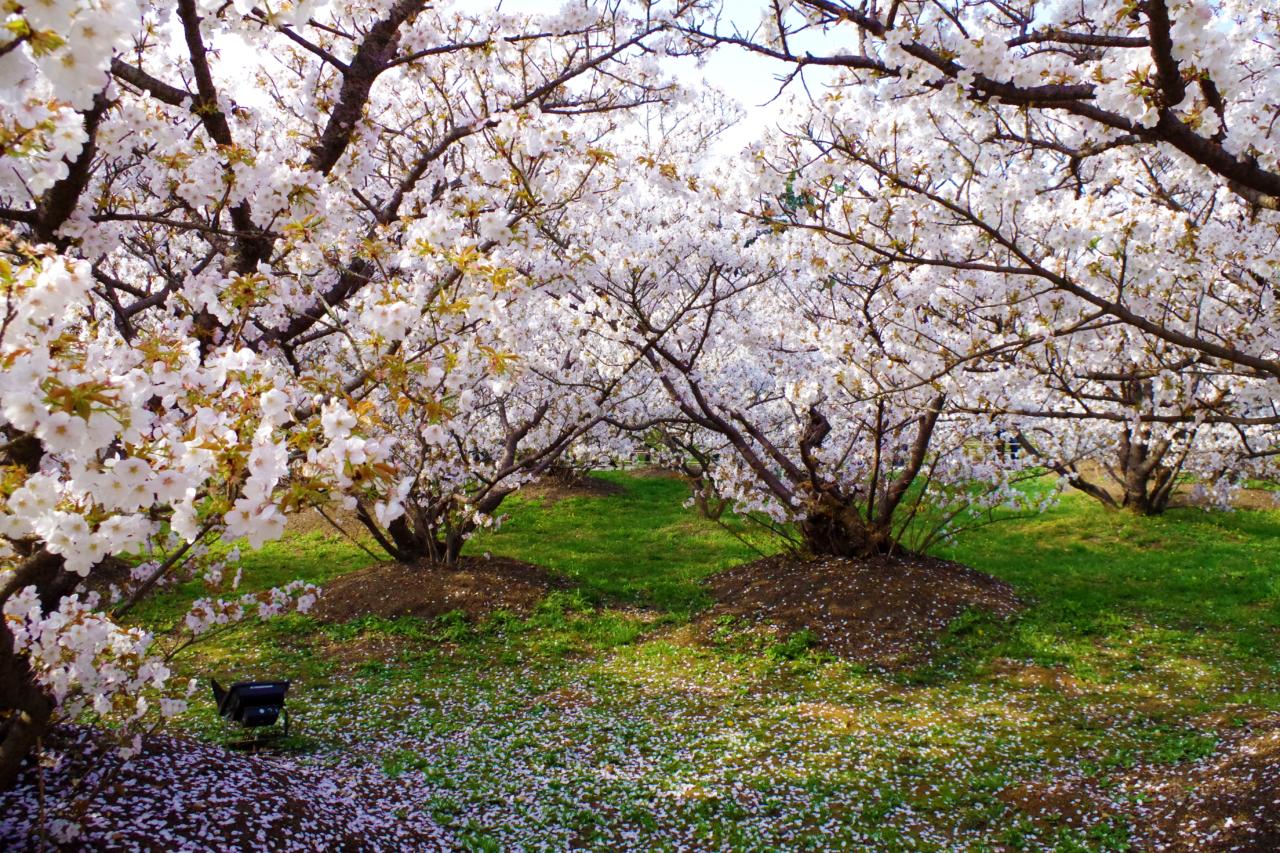 仁和寺の桜 御室桜
