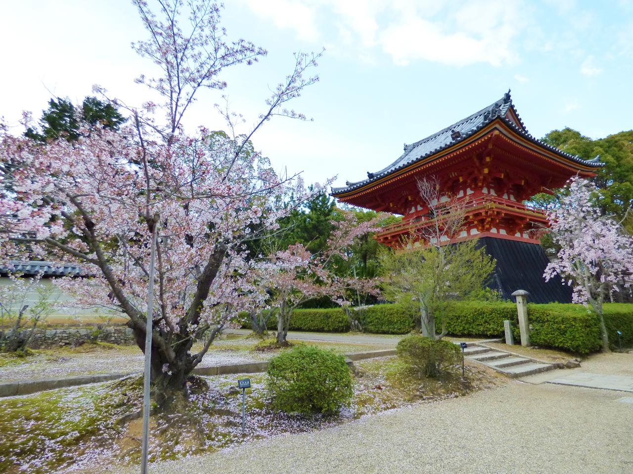 仁和寺の金桜