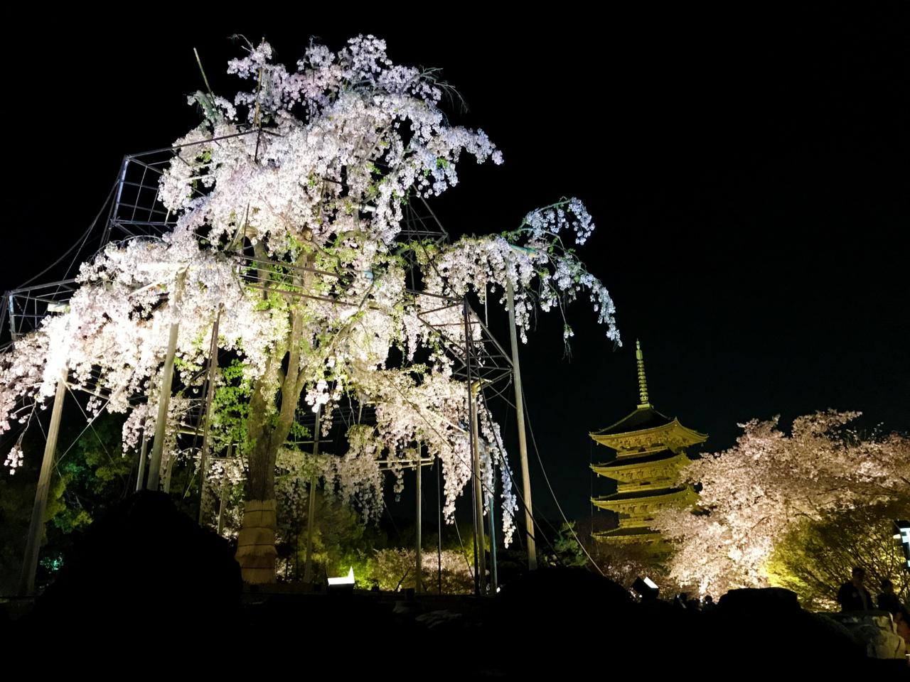 東寺の枝垂れ桜 夜桜ライトアップ