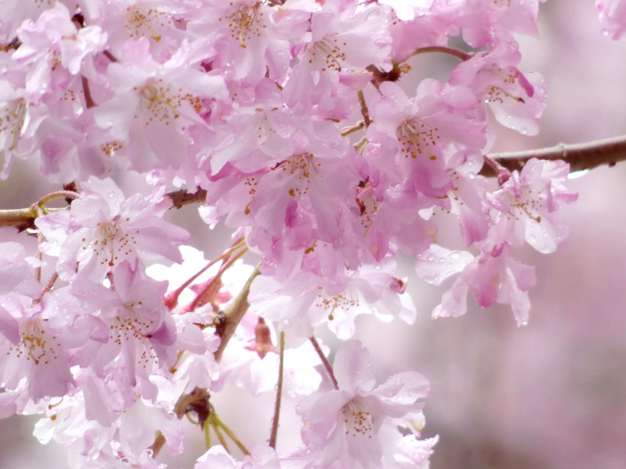 京都の雨に濡れた桜