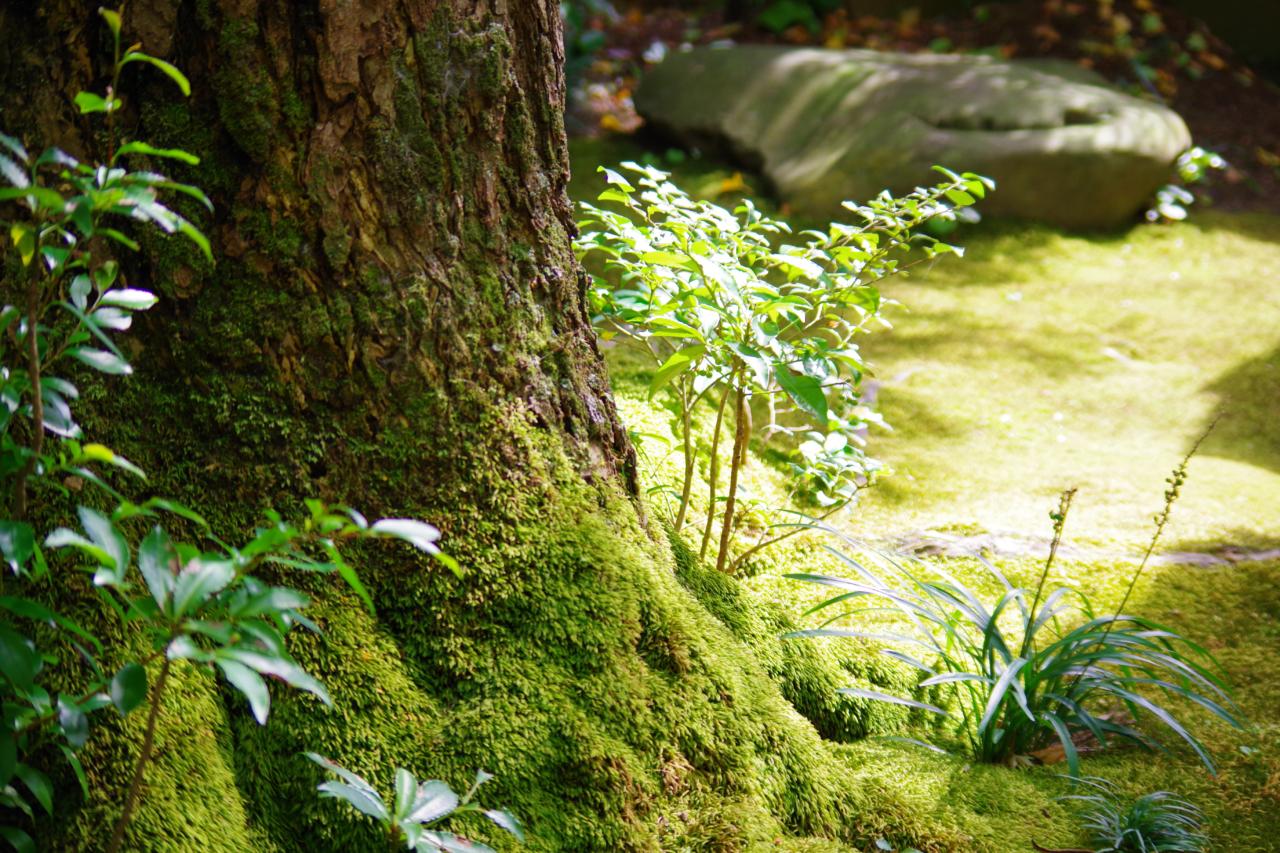 蓮華寺の苔