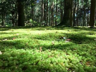 八瀬八幡宮の苔