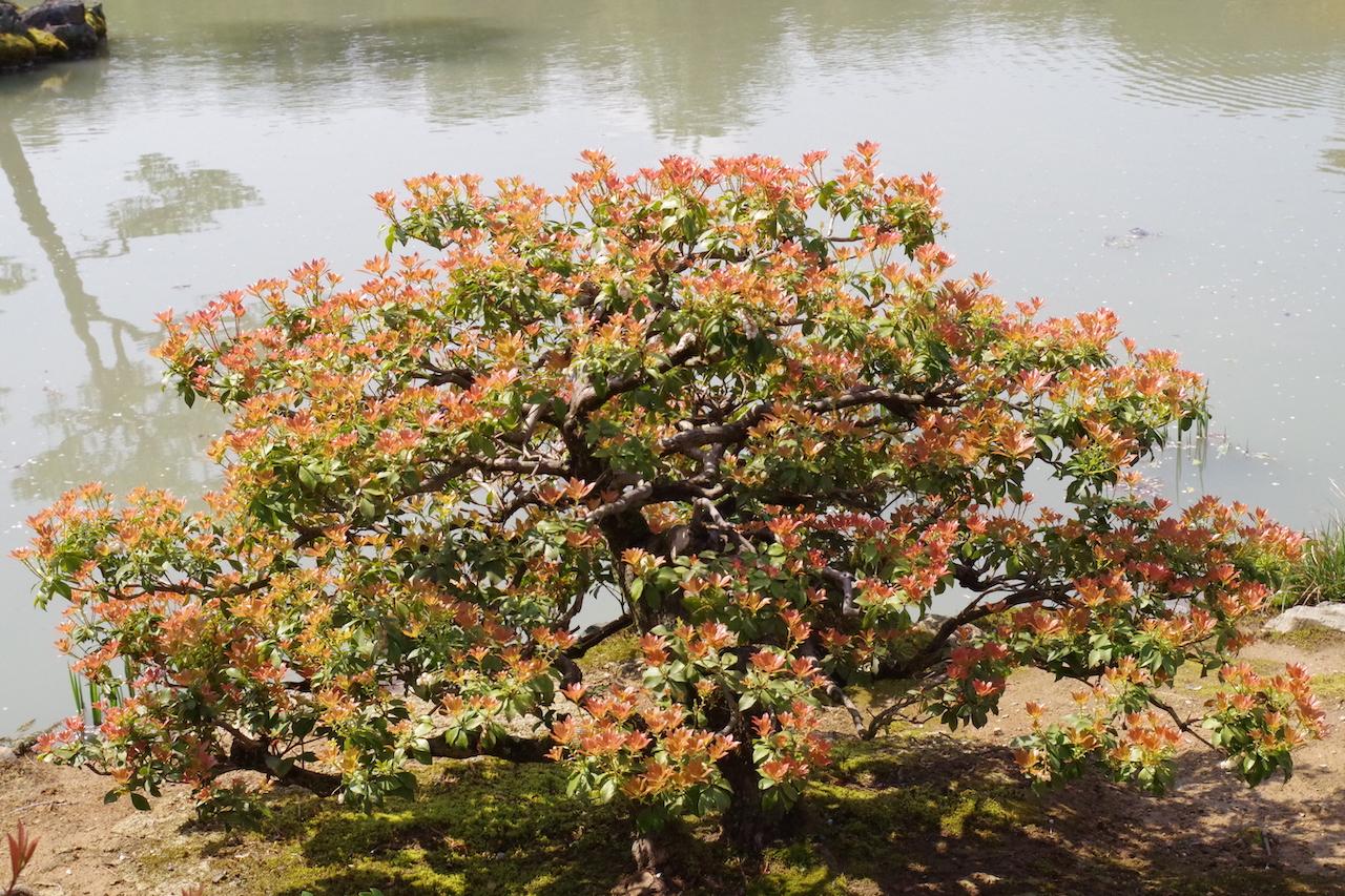 金閣寺の植物