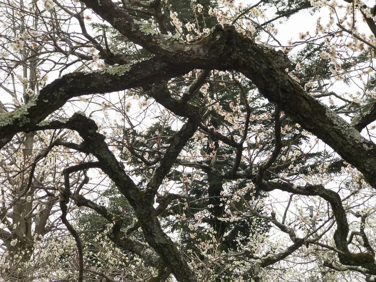 北野天満宮の梅と枝