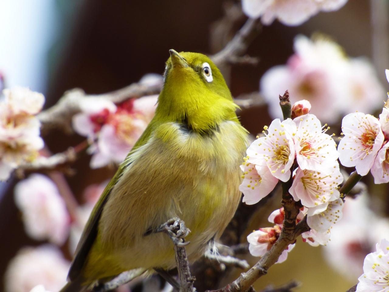 北野天満宮の桜とメジロ